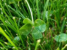 Four Leaf Clover. Growing in the grass Stock Photos