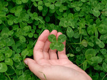 Four-leaf clover in hand. Field royalty free stock image