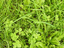 The four-leaf clover hidden in this herb fields, find them!. In this field of green grass hides one or more four-leaf clover, have you found them? It is a riddle Stock Image