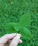 Four leaf clover. Holding a four leaf clover Royalty Free Stock Images