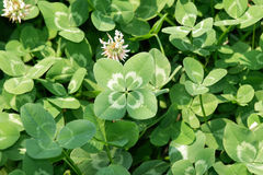 "Four-leaf clover. "" Lucky clover"" Four-leaf white clover/ Dutch clover (Trifolium repens) on the field. Rare variation of the three-leaf clover royalty free stock photo"