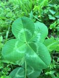 Four leaf clover stock image