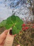 Four-leaf clover. Lucky in my hand stock photos