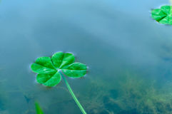 Four Leaf Clover over water 2 Royalty Free Stock Photo