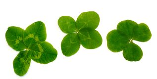 Four-leaf clover. A plant with 4 leaves. A symbol of luck, happi Stock Photography