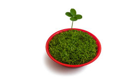 Four-leaf clover in a pot Stock Photography