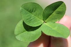 Four Leaf Clover (Quadrifoglio). Lucky clover, lucky leaf Royalty Free Stock Photography