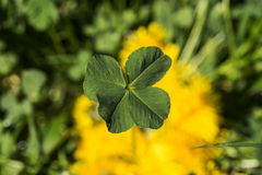 The four-leaf clover is a rare variation of the common three-leaf clover. According to tradition, such clovers bring good luck. Each leaf is believed to Royalty Free Stock Images