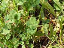 Four-leaf clover Stock Images