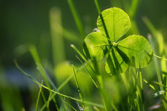 Four leaf clover or shamrock growing in the green grass, morning Royalty Free Stock Image