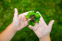 Four leaf clover, shamrock in the hands. Leaf of clover in small child's hands stock image
