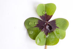 Four leaf clover shamrock water. Wet lucky four leaf clover with waterdrops on white paper Stock Images