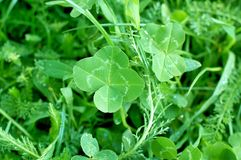 Four leaf clover, symbol of good luck Stock Image