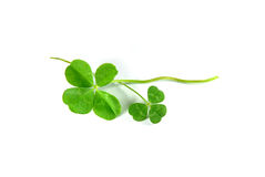 Four Leaf Clover and three Leaf Clover. Isolated on white Royalty Free Stock Image