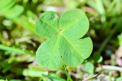Four leaf clover. The four-leaf clover is an uncommon variation of the common, three-leaved clover. According to tradition, such leaves bring good luck to their Stock Photos