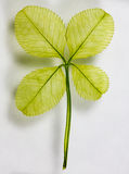 Four Leaf Clover. An up-close shot of a four leaf clover stock photography