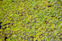 Four Leaf Clover Water Plant. In Pond royalty free stock image