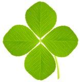 Four leaf clover. On white royalty free stock photos
