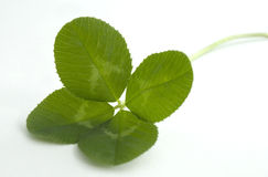 Four leaf clover on white. Lush green four leaf clover on a white background Stock Images