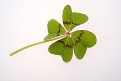 Four leaf clover Royalty Free Stock Photos