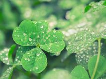 Free Four Leaf Clover With Pearls Of Dew Drops Stock Photography - 156004112
