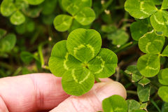 Four leaf clover. Stock Images
