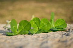 Four Leaf Clovers Stock Photos