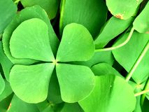 Four leaf clovers in focus. Lose up on lucky four leaf clovers Stock Images
