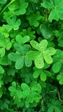 Four Leaf Glover royalty free stock images