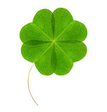Four-leaf green clover. Royalty Free Stock Photo