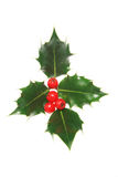 Four leaf holly Royalty Free Stock Images