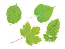 Four leaf Stock Photography