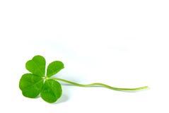 four leaf koniczynę zdjęcie stock