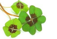four leaf koniczynę Fotografia Stock