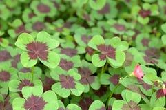four leaf koniczynę Fotografia Royalty Free
