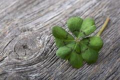 four leaf koniczynę Zdjęcia Royalty Free