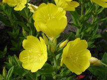 Four-leaf suncups (evening primrose) yellow flowers Stock Image