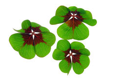 Four leafed clover. Leaves on white stock photo