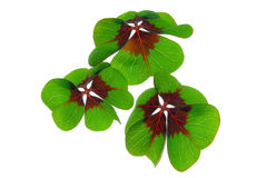 Four leafed clover. Green plant on white background stock photos