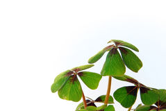 Four-leafed Clover 13. Four-leafed Clover on a white surface stock photos