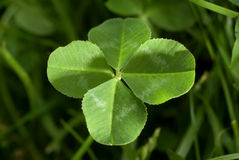 Four-leafed Clover. Background for St. Patrick`s day or for luck Royalty Free Stock Photography