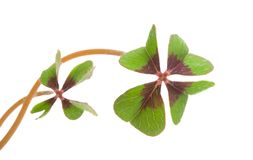 four-leafed clover royalty free stock photo