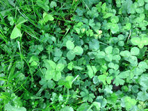 Four leafed clover growing in a paddock Royalty Free Stock Photo