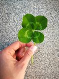 Four leafed clover in the hand. Of the lucky lady on the grey stone background on daytime in summer royalty free stock photography