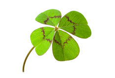 Four-leafed clover. Four leaf clover for luck, isolated on white background Stock Photography