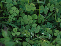 Four leafed clover. 'Lucky' four leaved clover growing wild in Argenina Royalty Free Stock Photography