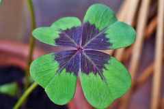 Four leafed clover macro 2.  royalty free stock photography