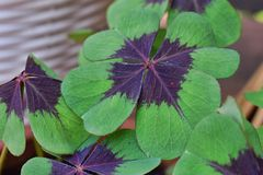 Four leafed clover macro.  royalty free stock images