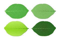 Four leafs isolated on white background. Four green leafs isolated on white background Stock Photography