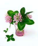 Four leaved clover Stock Images